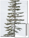 A Lodgepole Pine Covered in Snow in Winter Posters by Tom Murphy