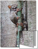 Two Spectral Tarsiers, Tarsius Tarsier, on a Tree Branch at Dusk Prints by Gabby Salazar