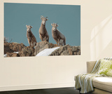 Portrait of Three Young Bighorn Sheep Standing on a Cliff Wall Mural by Tom Murphy