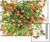 Moss Rose Flowers, Portulaca Species 高品質プリント : ロバート・ルウェリン