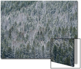 Snow Falls on Trees in a Thick Forest Prints by Tom Murphy