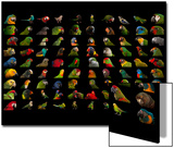 Composite of 90 Different Species of Parrots Prints by Joel Sartore