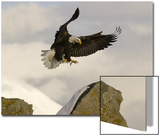 A Bald Eagle, Haliaeetus Leucocephalus, Landing on Rocks Print by Klaus Nigge