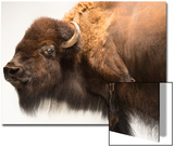 A Female Bison, Bison Bison, at the Oklahoma City Zoo Prints by Joel Sartore