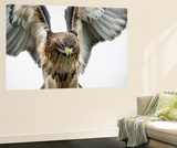 Red-Tailed Hawk (Buteo Jamaicensis), Bird of Prey, England, United Kingdom Wall Mural by Janette Hill