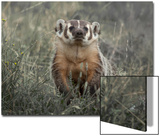A Badger Looks Up from a Field of Grass and Sagebrush Posters by Tom Murphy