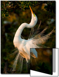A Great Egret, Ardea Alba, in Mating Feathers, Poses for a Mate Prints by Mark Emery