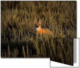 A Swift Fox Kit Peeks Up from Sage Bushes Prints by Michael Forsberg