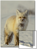 Portrait of a Red Fox with Snow on its Face Prints by Tom Murphy