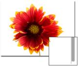 A Fire Wheel Flower, Gaillardia Pulchella Print by Joel Sartore