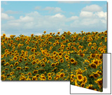 Faces of Sunflowers under a Blue Sky Prints by Michael Forsberg
