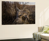 A Camera Trap Catches a Shot of a Bobcat on a Log Wall Mural by Michael Forsberg