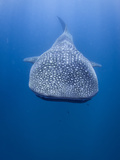 A Whale Shark Swimming in the Blue Waters Off the Coast of Mozambique Posters by Jody Macdonald