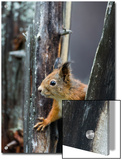 An Eurasian Red Squirrel, Sciurus Vulgaris, in a Split Tree Trunk Posters por Erlend Haarberg
