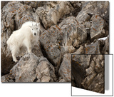 A Mountain Goat, Oreamnos Americanus, in a Rocky Landscape Prints by Robbie George