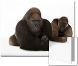 Joel Sartore - A Male and Female Western Lowland Gorilla, Gorilla Gorilla Gorilla, at the Gladys Porter Zoo Plakát