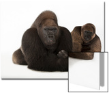 A Male and Female Western Lowland Gorilla, Gorilla Gorilla Gorilla, at the Gladys Porter Zoo Art by Joel Sartore