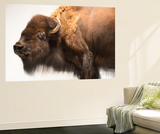 A Female Bison, Bison Bison, at the Oklahoma City Zoo Wall Mural by Joel Sartore