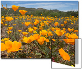 A Field of California Poppies, Eschscholzia Californica, California's State Flower Posters by Kent Kobersteen