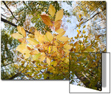 A Beech Tree, Fagus Grandifolia, in Fall Colors in the Pocono Mountains Posters by Gabby Salazar