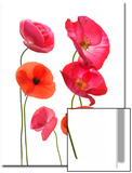 Oriental Poppy Flowers, Papaver Orientale Posters by Robert Llewellyn