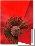 Oriental Poppy Flower, Papaver Orientale, Close Up Prints by Robert Llewellyn
