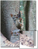Two Spectral Tarsiers, Tarsius Tarsier, on a Tree Branch at Dusk Posters by Gabby Salazar