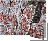 Red Autumn Leaves in Snow Prints by Amy White Al Petteway