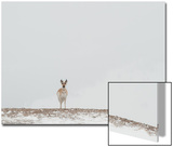 A Pronghorn Looks Alert in a Snowy Landscape Poster by Tom Murphy