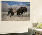 A Pair of Bull Moose, Alces Alces, Lock Antlers in the Sage Brush of Grand Teton National Park Wall Mural by Barrett Hedges