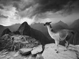 A Llama Overlooks the Pre-Columbian Inca Ruins of Machu Picchu Metal Print by Jim Richardson