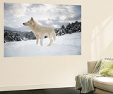 Arctic Wolf (Canis Lupus Arctos), Montana, United States of America, North America Wall Mural by Janette Hil