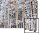 Snow Clings to Aspens in the Sangre De Cristo Mountains Poster von Michael Melford