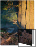 A Gray Squirrel Feeds in the Autumn Foliage of Richmond Park Print by Alex Saberi