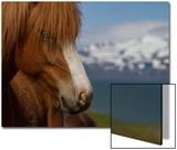 Close Up Portrait of an Icelandic Horse Posters af Erika Skogg