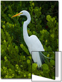 A White Egret Perches Atop a Cocoa Plum Tree Near the Shark River in Everglades National Park Prints by Carlton Ward