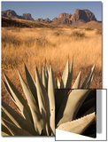 A Century Plant, Agave Harvardiana, in the Chisos Basin Area of Big Bend National Park Posters af Phil Schermeister