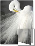 A White Egret Preens its Breeding Plumage, Shark River Slough, Florida Posters by Carlton Ward