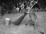 Jimmy Le Kangourou Du Zoo De Londres Faisant Le Menage Photo