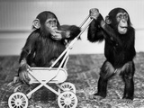Chimpanzees Jambo and William at Twycross Zoo, England, September 19, 1984 Fotografía