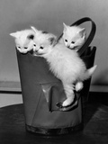 3 Kittens in a Handbag Photo