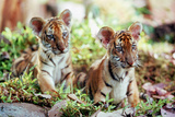 Deux Freres Two Brothers De Jeanjacquesannaud Avec Les Petits Tigres Kumal, Sangha, 2004 Photo