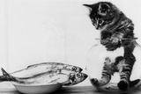 Kitten in an Aquarium Looking at Fishes in a Plate, June 26, 1972 Photo