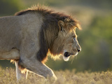 Male Lion (Panthera Leo), Backlit, Addo Elephant National Park, South Africa, Africa Photographic Print by James Hager
