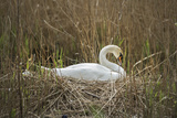 Swan (Cygnus), Gloucestershire, England, United Kingdom Photographic Print by Janette Hill