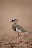 Crowned Plover (Crowned Lapwing) (Vanellus Coronatus) Reproduction photographique par James Hager