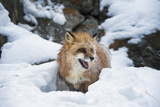 American Red Fox (Vulpes Vulpes Fulves), Montana, United States of America, North America Photographic Print by Janette Hil