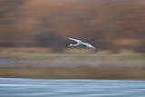 Sandhill Crane (Grus Canadensis) in Flight Parachuting on Approach to Landing Photographic Print by James Hager