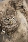 Little Owl (Athene Noctua), Devon, England, United Kingdom Photographic Print by Janette Hill