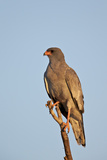 Southernpale Chanting Goshawk (Melierax Canorus) Photographic Print by James Hager